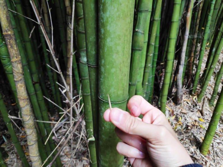 semilla del bambú
